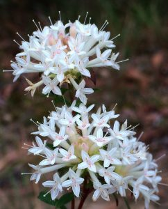 Pimelea linifolia, known as queen-of-the-bush or riceflower by Kate Burke