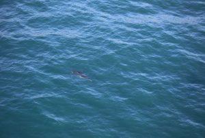 Shark at Bournda Island December 25,from https://twitter.com/NSWSharkSmart