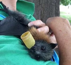 Annie from Wildlife Rescue named the baby flying fox Katie