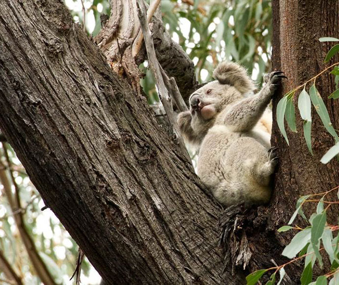Koala in the Murrah Flora Reserve near Mumbulla. Photo: Dave Gallen