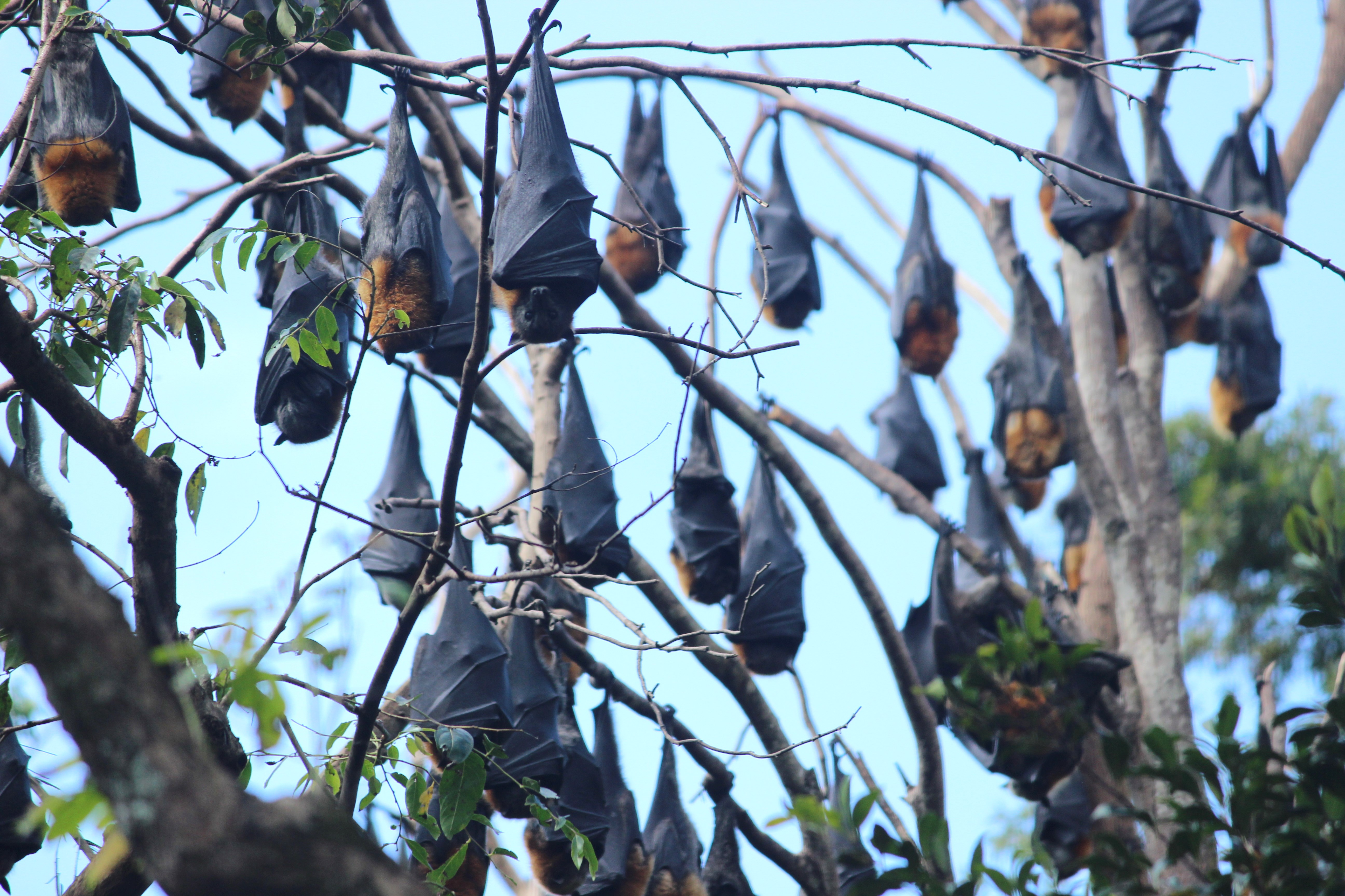 "In 2016 20% of Australias' flying fox population ""camped out"" in Batemans Bay. Photo: Eurobodalla Shire Council."