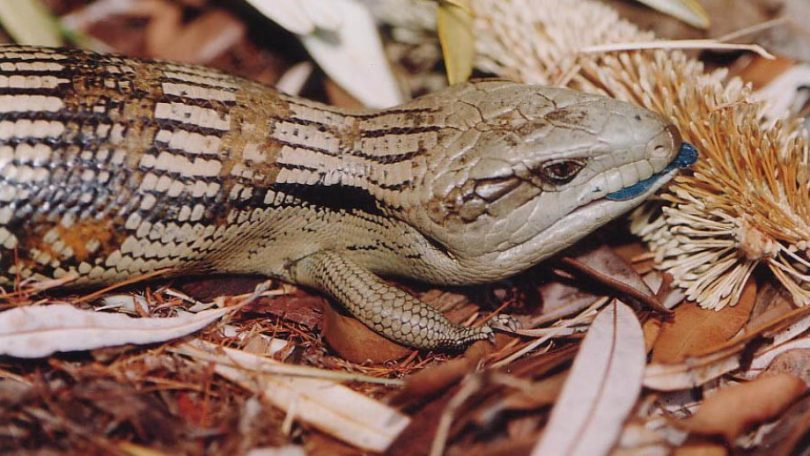 eastern blue-tongue lizards