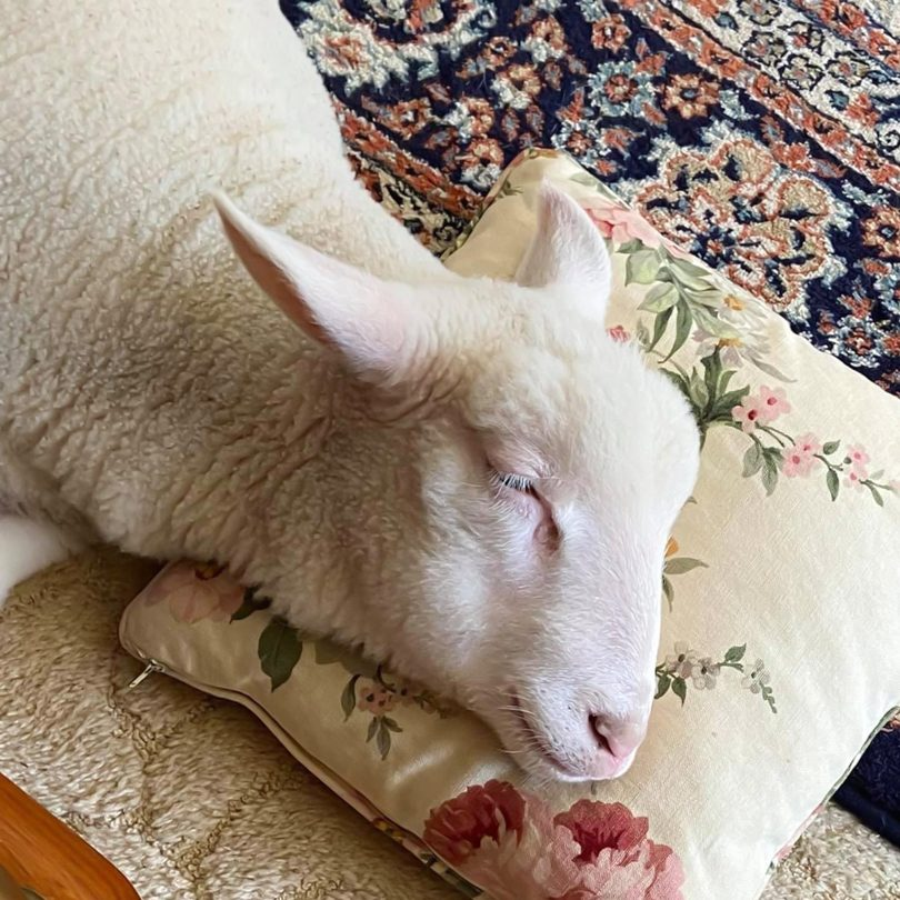 Lamb lying with his head on a pillow.