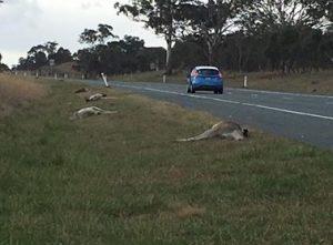 Monaro Highway roadkill August 2016