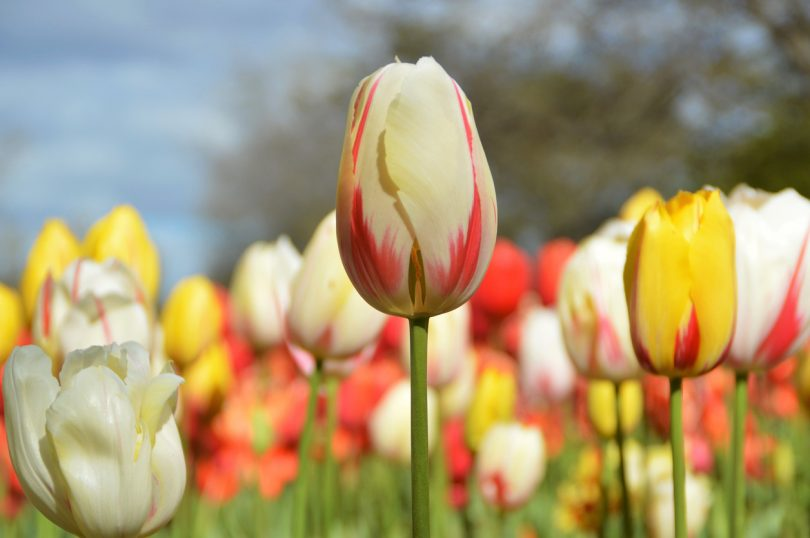 Floriade is a chance to enjoy one million flowers all in one place. Photo: Glynis Quinlan.