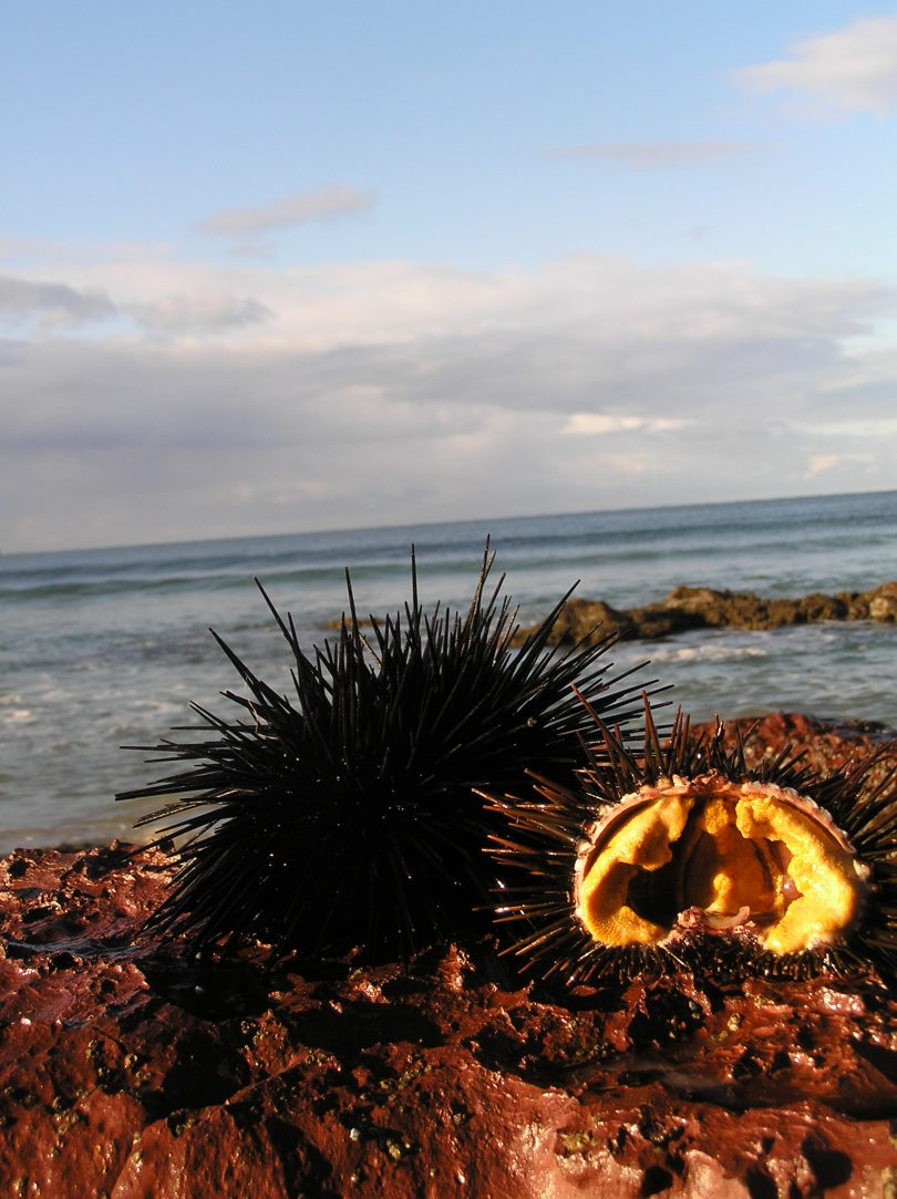 Keith Browne suggests letting urchin roe melt onto a hot steak, or battering it in tempura and deep frying. Photo: South Coast Sea Urchins.