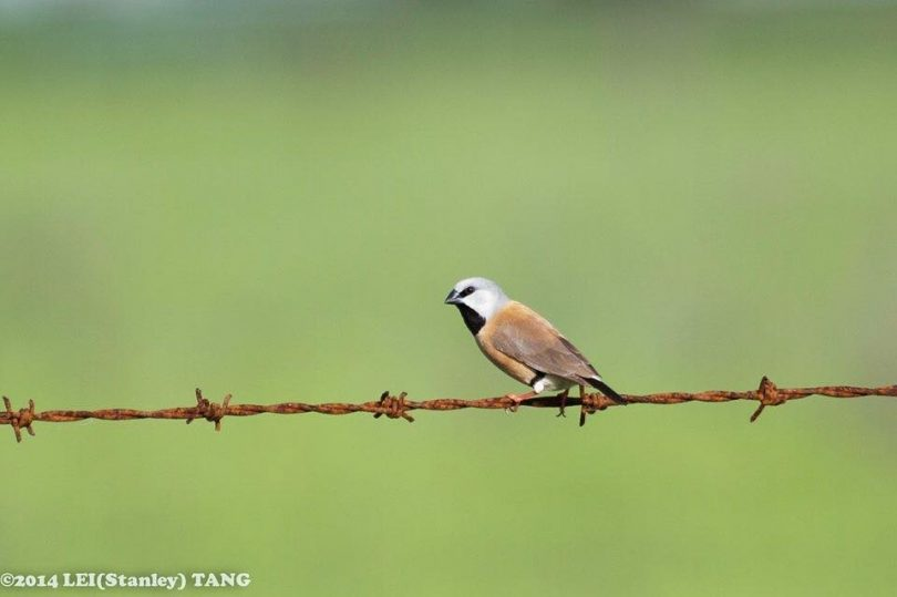 Critics of Adani's coal mine plan say that the plan to limit impact on the black-throated finch will not save the endangered bird. Photo: Facebook.