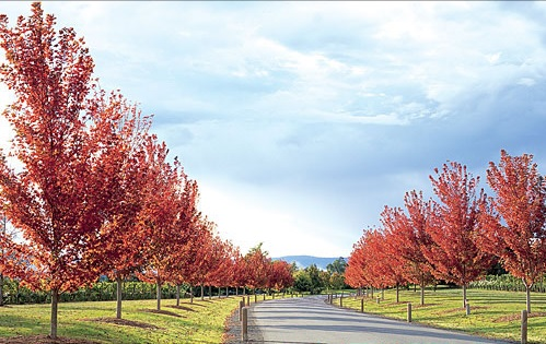 A road lined with lipstick maple trees.