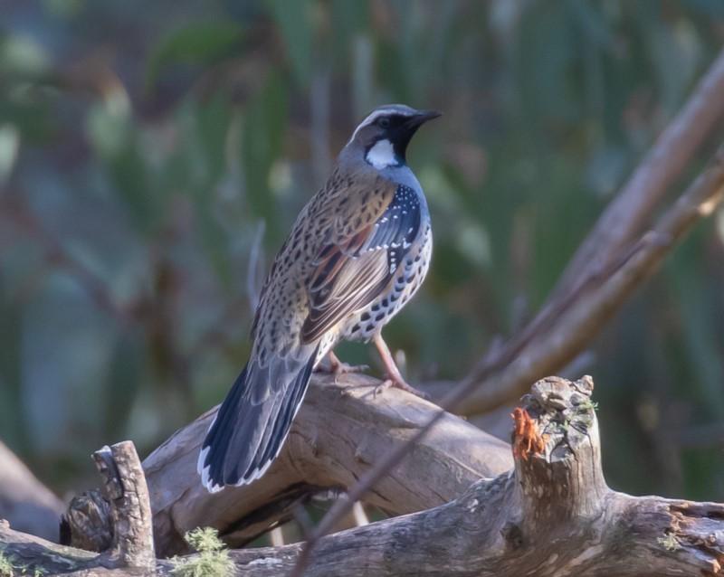 Spotted quail-thrush bird sitting on branch.