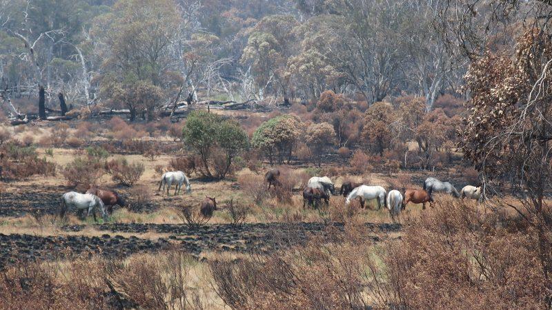 Brumbies grazing in Kosciuszko National Park following bushfire.