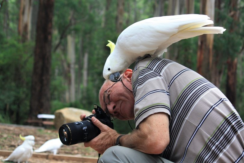 A sulphur-crested cockatoo perches on a photographer's shoulder.