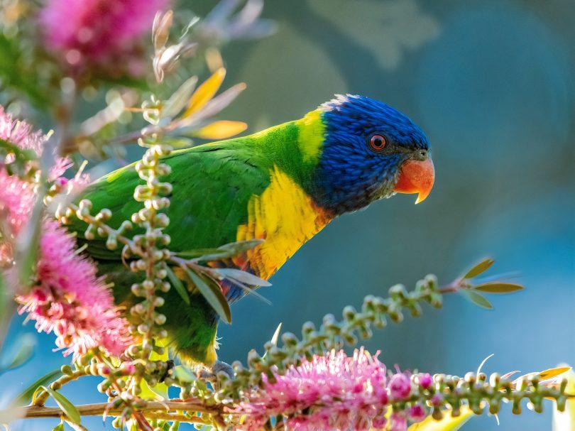 A rainbow lorikeet on a colourful branch.