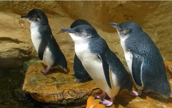 Montague Island's Little Penguins